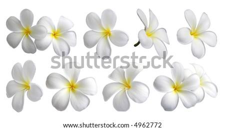 Set of ten frangipanis flowers on white background