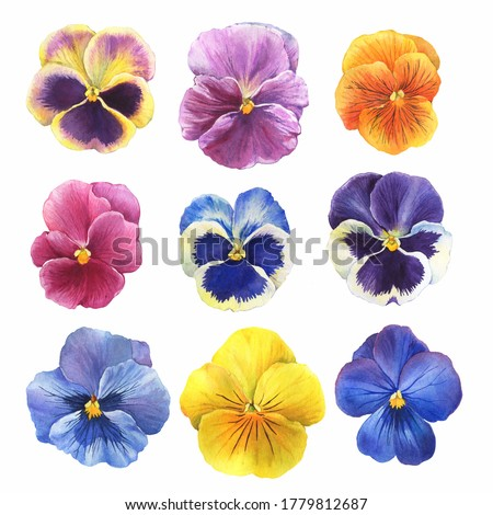 Set of the blue garden tricolor pansy flower (Viola tricolor, viola arvensis, heartsease, violet, kiss-me-quick) Hand drawn botanical watercolor painting illustration isolated on white background Сток-фото ©