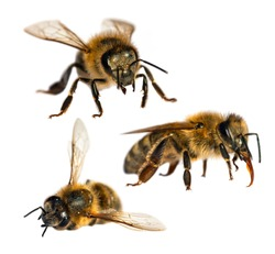 Set of three bees or honeybees in Latin Apis Mellifera, european or western honey bee isolated on the white background