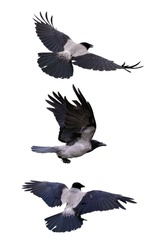 set of three flying grey crows isolated on white background