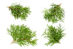 Set of thuja branches isolated on white background, top view. Cedar branch isolated on white background, flat lay. Isolated branches of cedar with leaves. Evergreen thuja, branch collection.