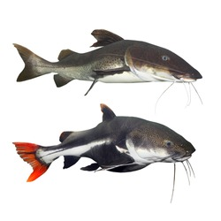 Set of tropical fishes from South America. The Red Tail Catfish (Phractocephalus hemiliopterus) and The Marbled Catfish (Sciades marmoratus). Animals isolated on white background.