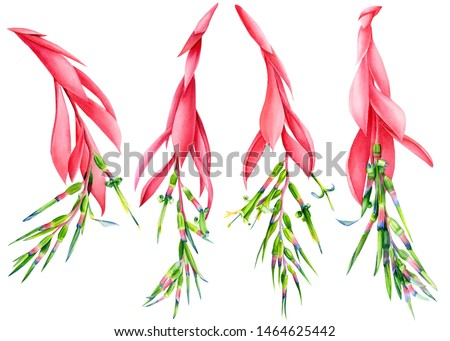 Set of tropical flowers. Heliconia, bromeliad on an isolated white background, botany elements. Hand drawn watercolor