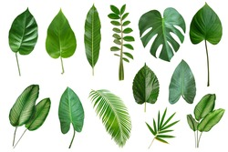 Set of Tropical leaves isolated on white background. Beautiful    tropical exotic foliage