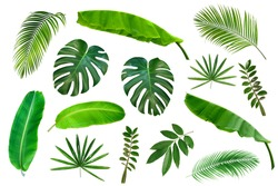 Set of Tropical leaves isolated on white background. Tropical exotic foliage for advertising design.