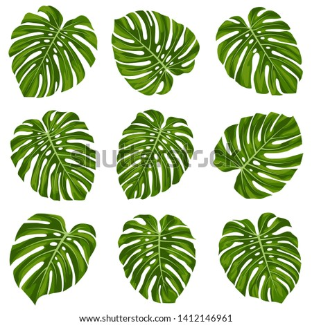 Set of tropical monstera leaves. Monstera leaf.