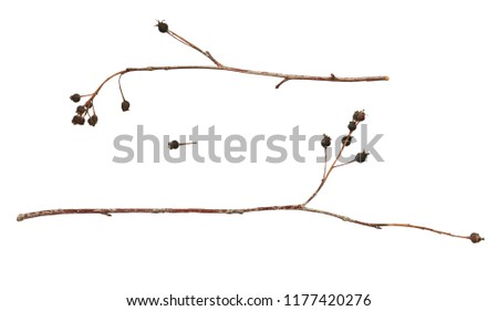 Set of twigs with dry black berries isolated on white #1177420276