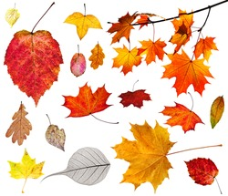 set of various autumn leaves isolated on white background