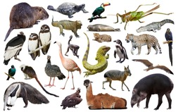 Set of various south american wild birds, animals, reptiles and insects isolated on white