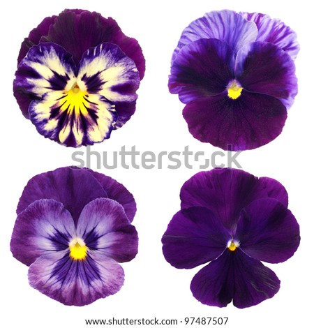 set of violet pansy on white background