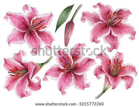 Set of watercolor flowers, hand drawn illustration of pink lilies, bright floral elements isolated on a white background.