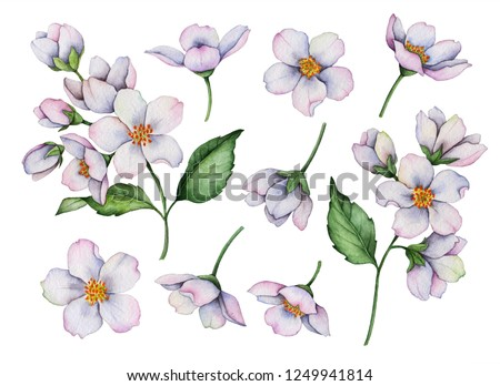 Set of watercolor flowers isolated on a white background, hand painted illustration of jasmine, floral elements for greeting cards and invitations.