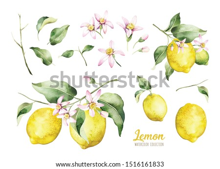 Set of watercolor illustrations of lemons. Hand painted tree branch  ripe lemons with green leaves and pink flowers on white background for your design.
