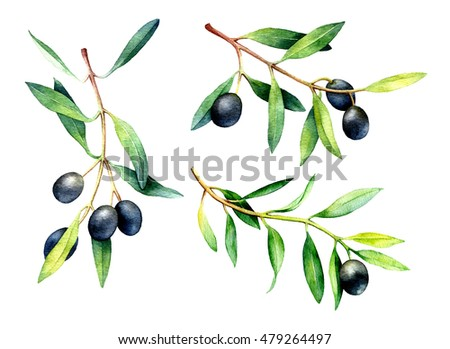 Set of watercolor olive branches isolated on white background. Hand drawn illustration.