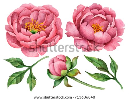 Set of watercolor peonies and leaves, hand drawn floral illustration, large flowers isolated on a white background.