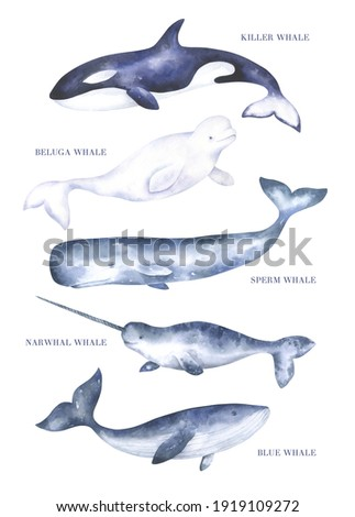 Set of watercolor whales such as orca killer whale, beluga, sperm whale, narwhal and blue whale isolated on white background. Watercolor hand drawn illustrations.