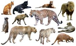 Set of wild mammals isolated over white background, mainly Felidae