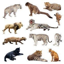 Set of  wildcats. Isolated over white