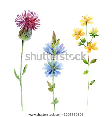 Set of wildflowers. Thistle, Hypericum, and Chicory isolated on white background. Watercolor illustration