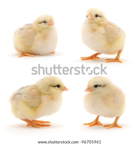Set of yellow chickens isolated on white. Studio shot.