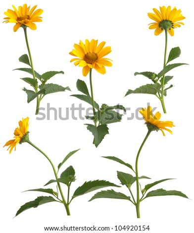Set of yellow field flowers isolated on white background.