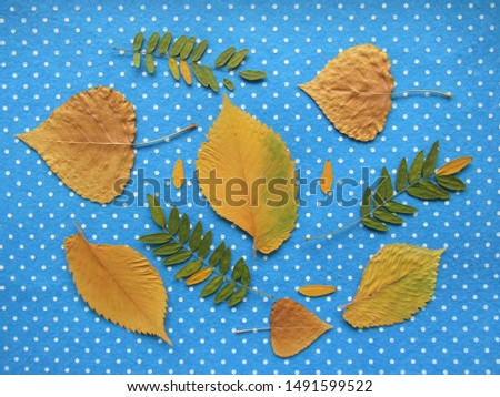Set of yellow leaves on blue . Poplar, elm and acacia leaves. The leaves lie on a blue felt with white polka dots. Stock fotó ©
