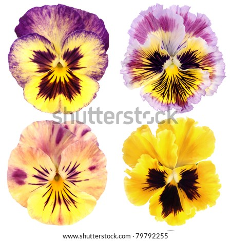 set of yellow  pansy on white background