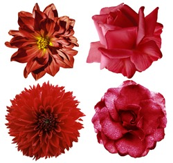 Set red flowers. Bright  flowers roses and  dahlia  Selection of Various Red Flowers Isolated on White Background  Nature.