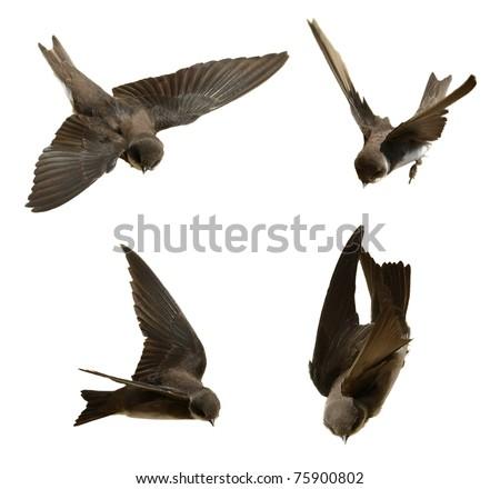 Set Sand Martin, swallow in flight  isolated on white background, riparia riparia (birds set 4)