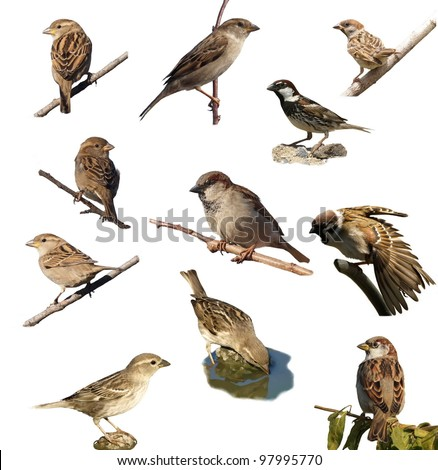 Set Sparrow , isolated on white background. Tree Sparrow, House Sparrow,  Spanish Sparrow (Passer domesticus, Passer montanus, Passer hispaniolensis ), with clipping path.