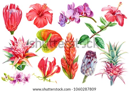 set tropical plants, flora watercolor illustration, botanical painting, hand drawing. Element wedding, flowers anthurium, orchid, guzmania, hibiscus, bromeliad, pink pineapple, protea