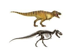 Set Tyrannosaurus (t-rex) Dinosaur theropod Cretaceous With a skeleton or fossil isolated on white background.