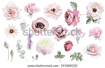 Set watercolor  elements of rose, pencil drawing. collection garden and wild flowers, leaves, branches, illustration isolated on white background, eucalyptus, bud.