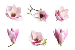 Set with beautiful magnolia flowers on white background. Spring blossom