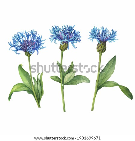 Set with blue mountain cornflower flowers. (Centaurea montana, bachelor's button, montane knapweed or mountain bluet). Watercolor hand drawn painting illustration isolated on white background. Foto stock ©