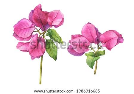 Set with pink Bougainvillea spectabilis flower branch. (the paperflower, primavera, buganvilia, veranera, roseiro, roseta). Watercolor hand drawn painting illustration isolated on white background. Foto stock ©
