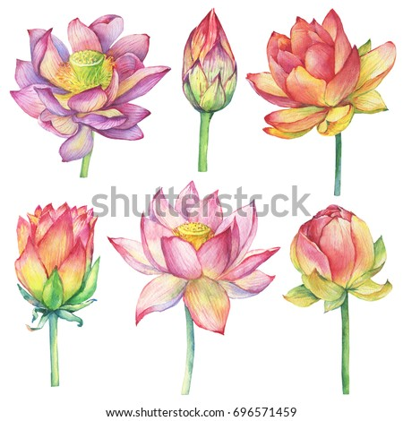Set with pink flowers and buds sacred lotus symbol of India (water lily). Watercolor hand drawn painting illustration isolated on white background.
