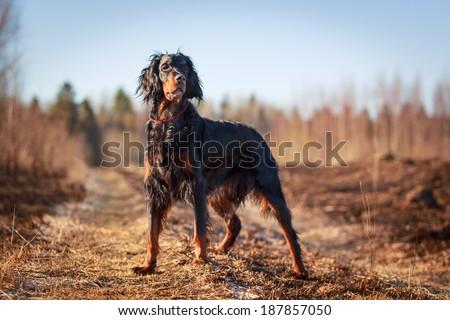 setter gordon dog #187857050