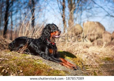 setter gordon dog #187857089