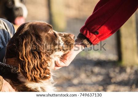 Shutterstock setter portrait dog