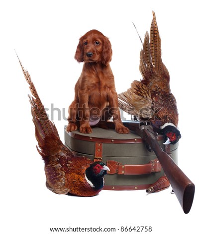Setter puppy, suitcase, shotgun and two pheasants on the white background, studio