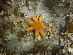 Seven Armed Starfish, Luidia ciliaris. Taken Isles of Scilly, England.