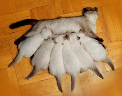 Seven cats. Mother cat feeding baby kittens on the wooden floor. Cats family
