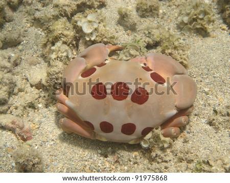 Seven-Eleven Crab (`alakuma)