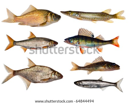 seven freshwater fishes collection isolated on white background