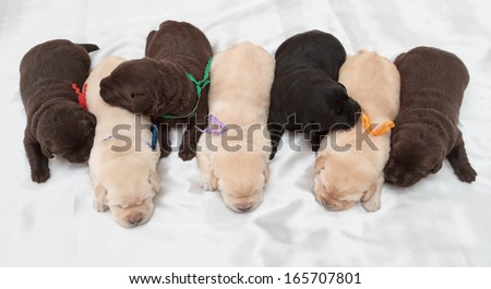 seven labrador retriever puppies (one week old)