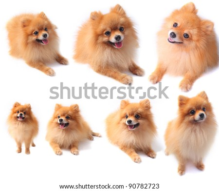 seven of pomeranian dog isolated on white