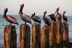 Seven Pelicans on Seven Wood Posts