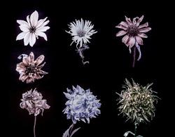 Seven sample of dark flower, stylized, sepia.  Black background