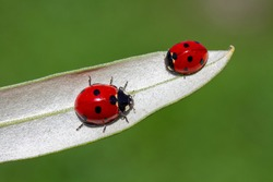 seven-spot ladybird on leaf in nature